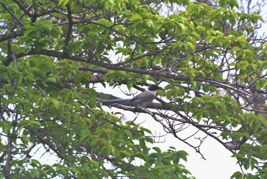 BORG45EDII+Nikon J1で鳥撮り_e0089232_19401212.jpg