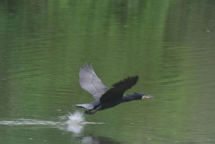 BORG45EDII+Nikon J1で鳥撮り_e0089232_19421280.jpg