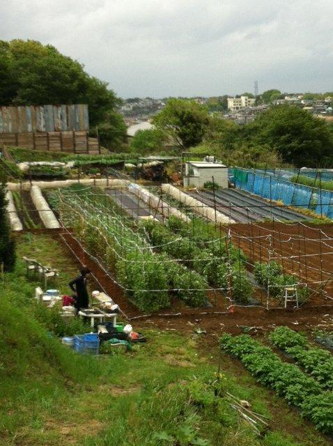 エンドウ豆&蚕豆の防鳥ネット今年はこんな感じで完成です_c0222448_16195150.jpg