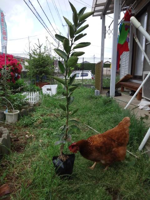 みかんの木を買ってしまった_c0197684_22224741.jpg