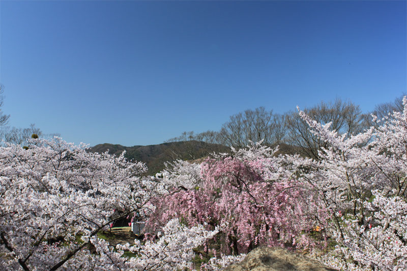 小諸に春がやってきた in 懐古園_d0217090_23461591.jpg