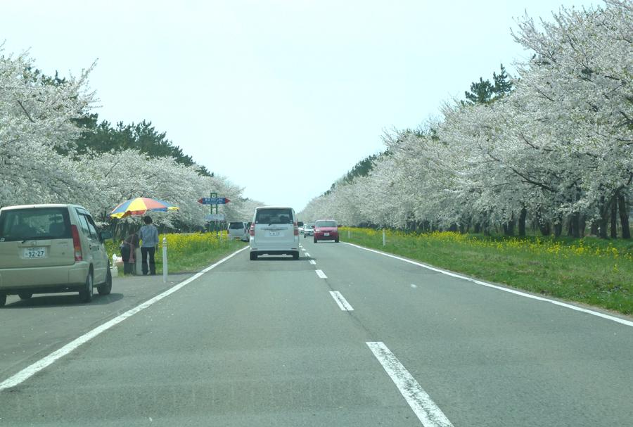 「桜・菜の花ロード」_f0150893_16533652.jpg