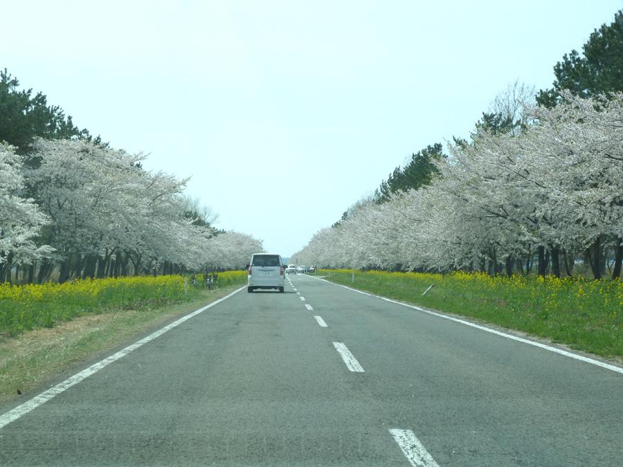 「桜・菜の花ロード」_f0150893_16551732.jpg