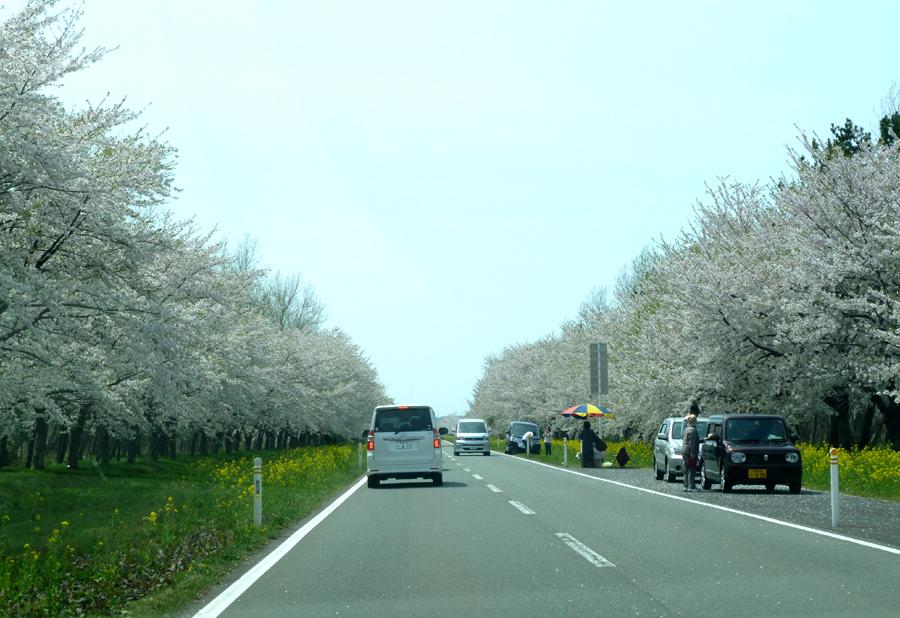 「桜・菜の花ロード」_f0150893_1656415.jpg