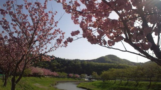 八重桜_f0068517_22164074.jpg