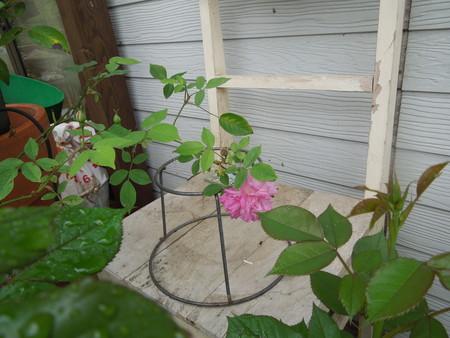 薔薇が咲き始めました_d0171630_15392774.jpg