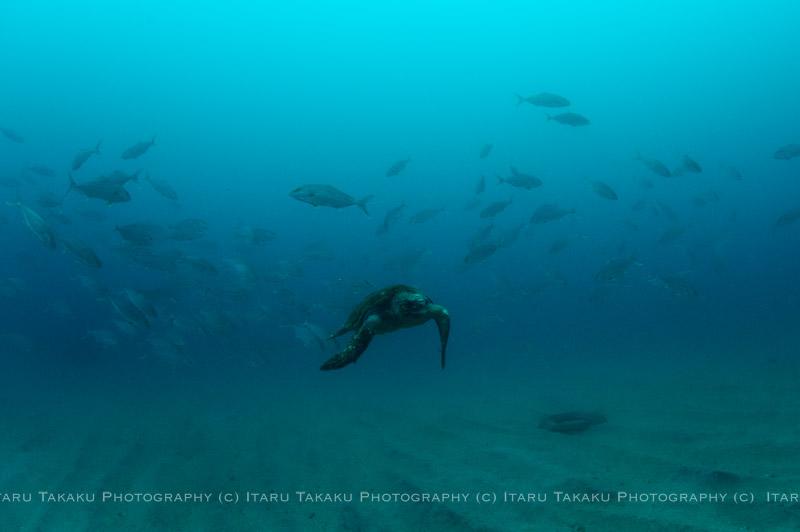 アカウミガメにヒレナガカンパチ!_b0186442_2221314.jpg