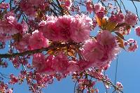 2012年 倶利迦羅さん八重桜まつり_c0208355_1614664.jpg