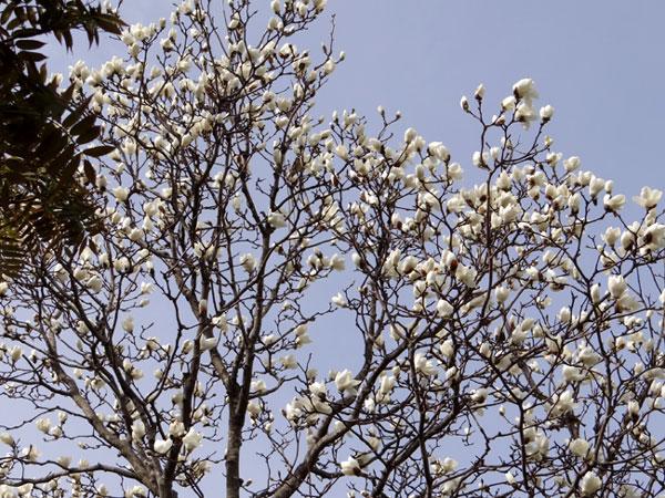 ハクモクレン、ユスラウメの花など_a0136293_17354825.jpg