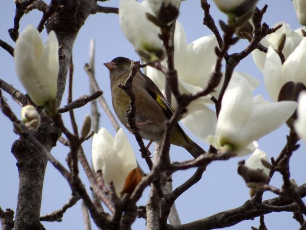 ハクモクレン、ユスラウメの花など_a0136293_17413466.jpg