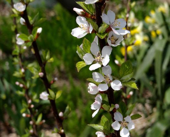 ハクモクレン、ユスラウメの花など_a0136293_1743168.jpg