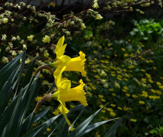 ハクモクレン、ユスラウメの花など_a0136293_17444166.jpg