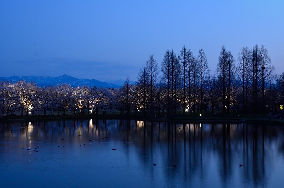 桜  富山中央植物園(ライトアップ)_e0223998_1241168.jpg