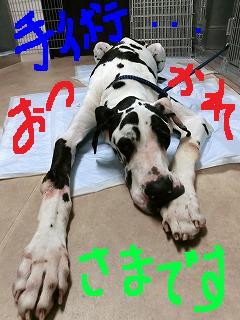 超大型犬の手術!_b0059154_1257423.jpg
