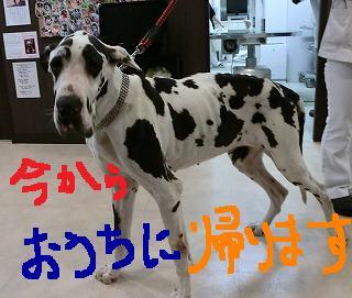 超大型犬の手術!_b0059154_1353952.jpg