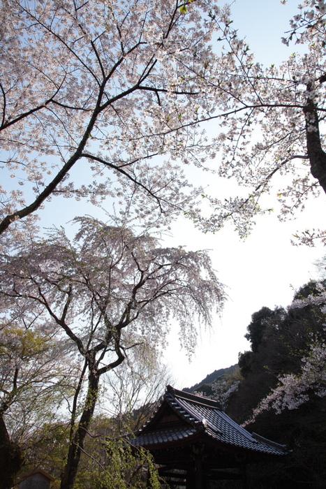 桜 2012  京都 <大原野>_f0021869_8102763.jpg