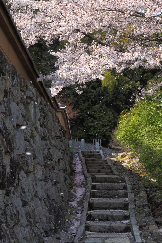 桜 2012  京都 <大原野>_f0021869_892178.jpg