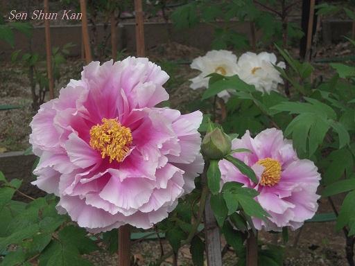乙訓寺の牡丹 2012年5月3日_a0164068_0372950.jpg