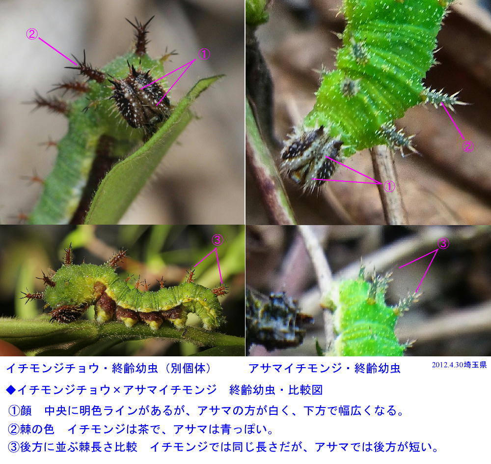 イチモンジチョウ × アサマイチモンジ 終齢幼虫・蛹 比較図_a0146869_22425049.jpg