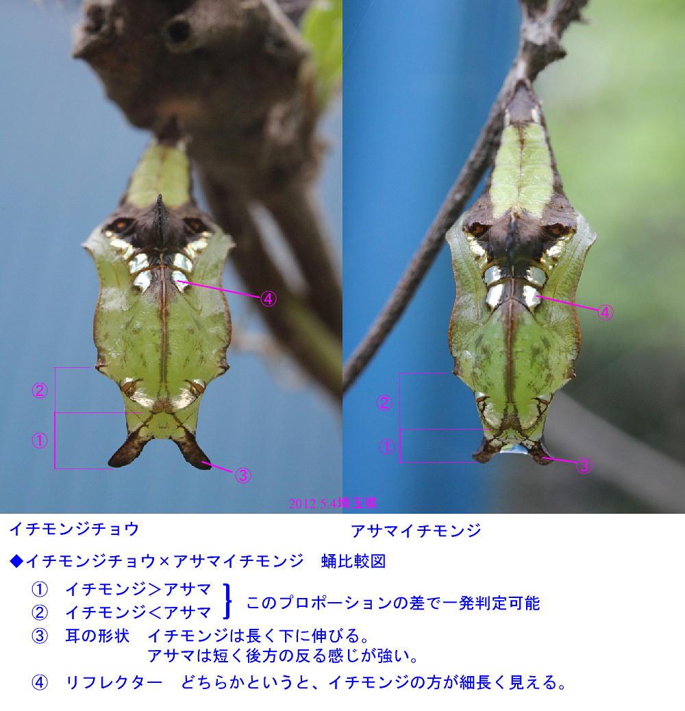 イチモンジチョウ × アサマイチモンジ 終齢幼虫・蛹 比較図_a0146869_22511474.jpg
