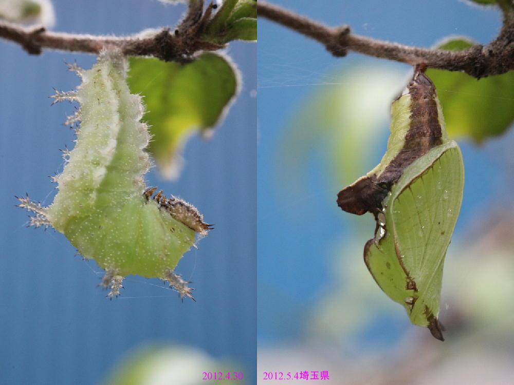 イチモンジチョウ × アサマイチモンジ 終齢幼虫・蛹 比較図_a0146869_22571633.jpg