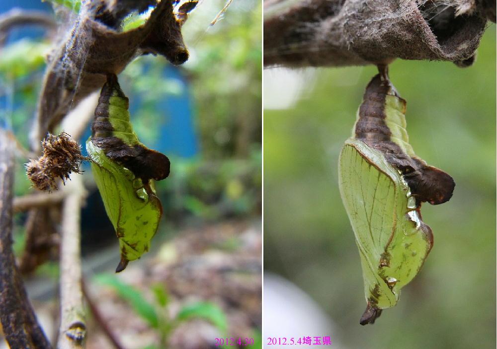イチモンジチョウ × アサマイチモンジ 終齢幼虫・蛹 比較図_a0146869_22592413.jpg