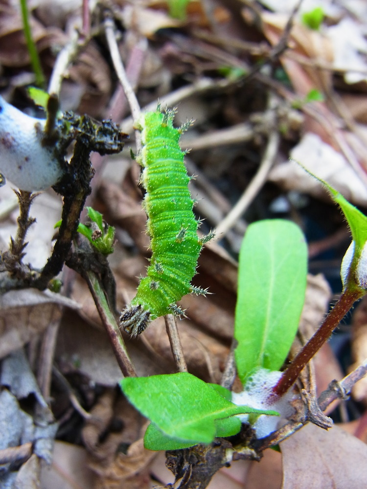 イチモンジチョウ × アサマイチモンジ 終齢幼虫・蛹 比較図_a0146869_23102432.jpg