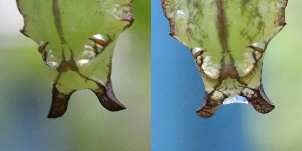 イチモンジチョウ × アサマイチモンジ 終齢幼虫・蛹 比較図_a0146869_23284073.jpg