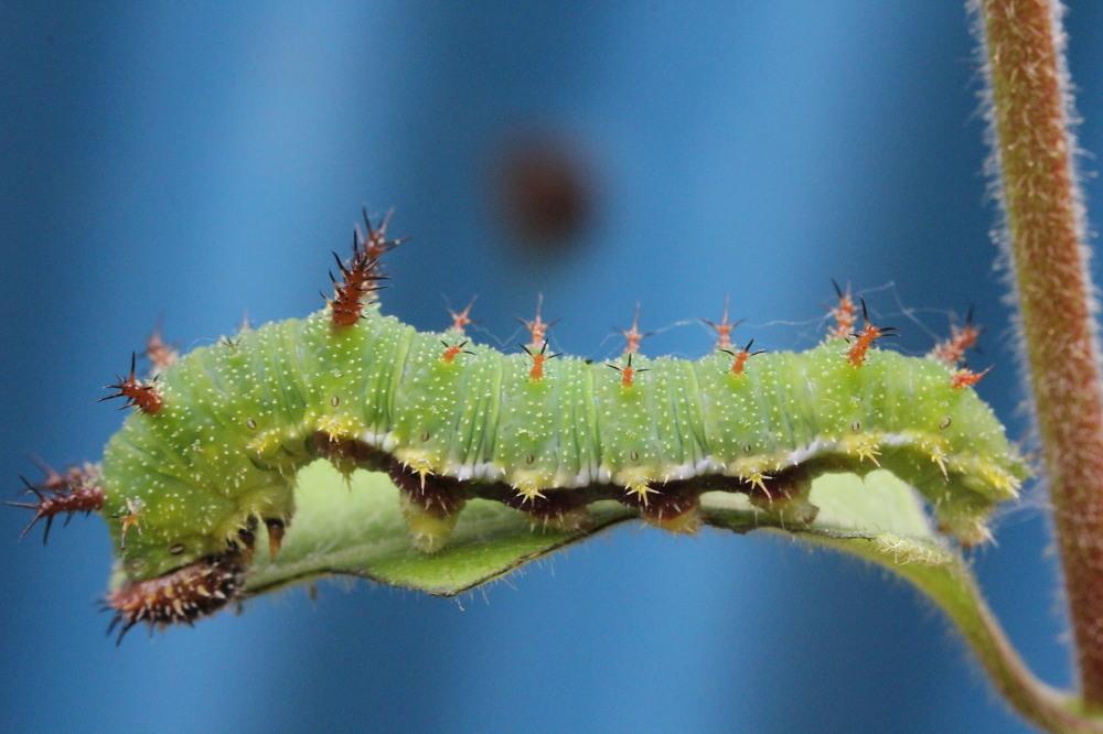 イチモンジチョウ × アサマイチモンジ 終齢幼虫・蛹 比較図_a0146869_2381878.jpg