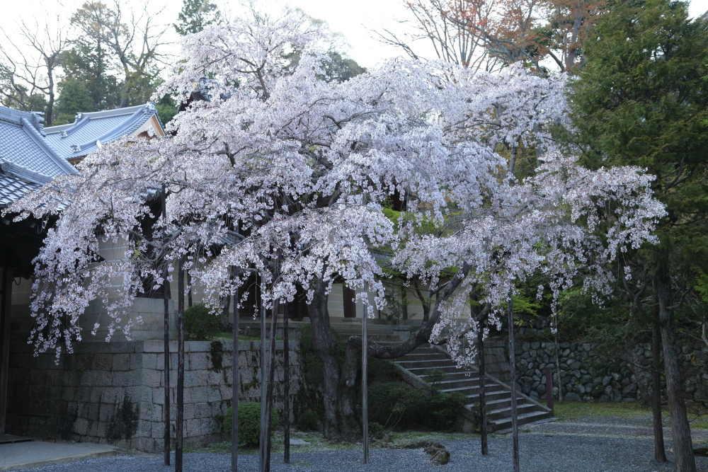 桜 2012  京都 <光明寺>_f0021869_0285432.jpg