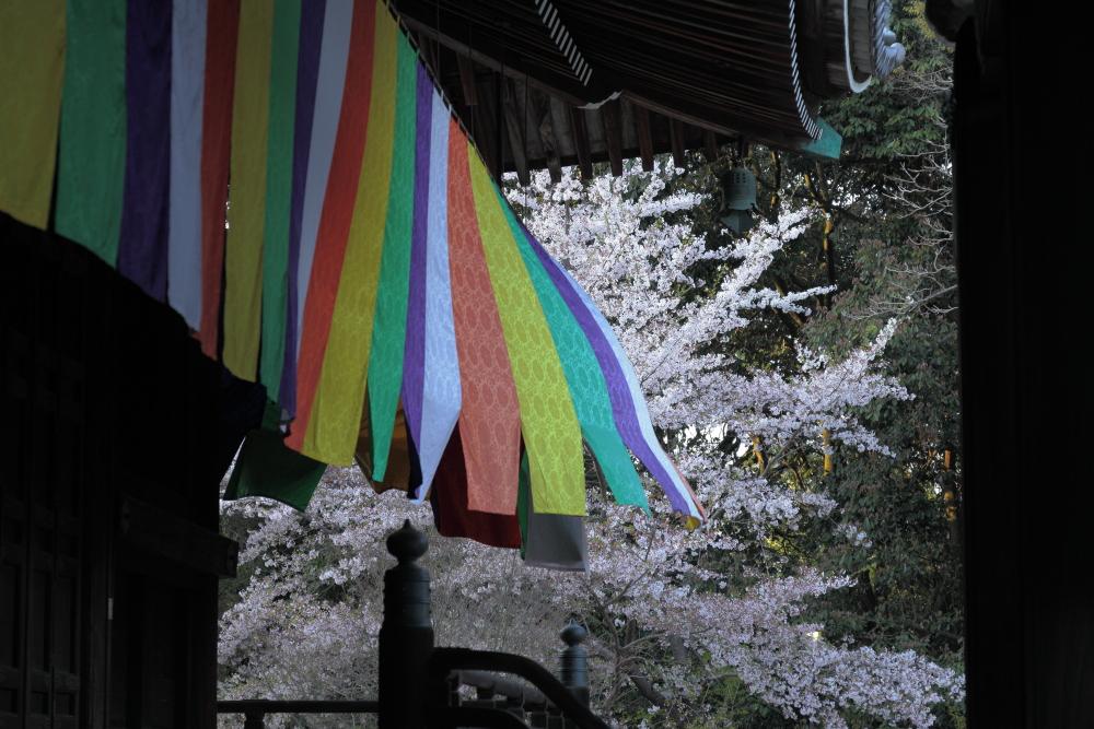桜 2012  京都 <光明寺>_f0021869_0294324.jpg