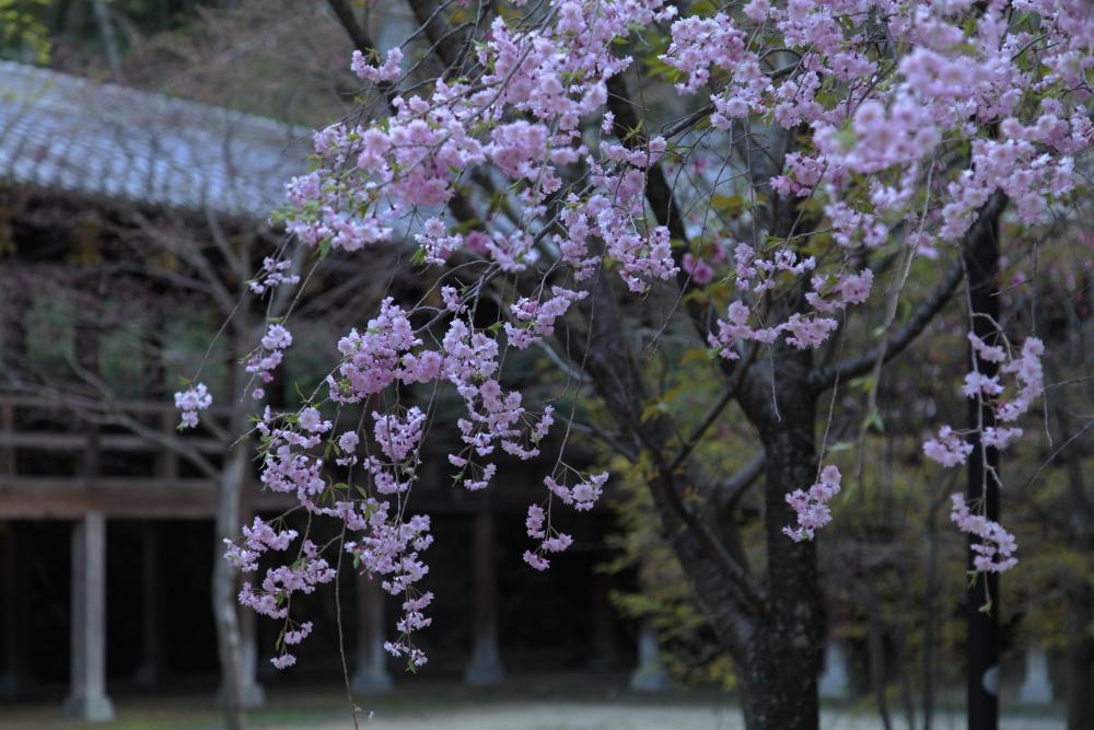 桜 2012  京都 <光明寺>_f0021869_030088.jpg