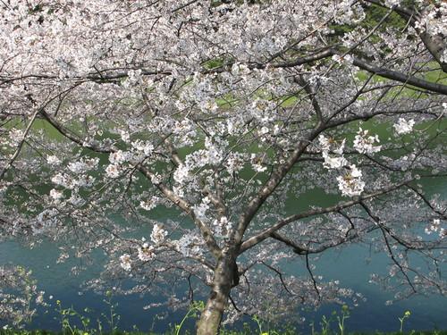 皇居外苑の桜&景色・・・4_c0075701_1938278.jpg