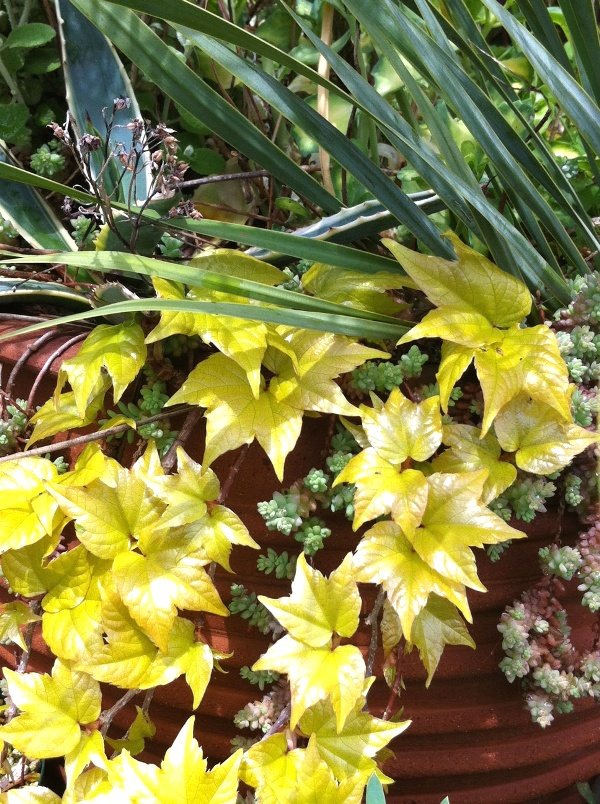 美しすぎる新芽たち ^^ 黄金葉ツタ、銅葉ヤグルマソウなど♪_f0191870_14334647.jpg