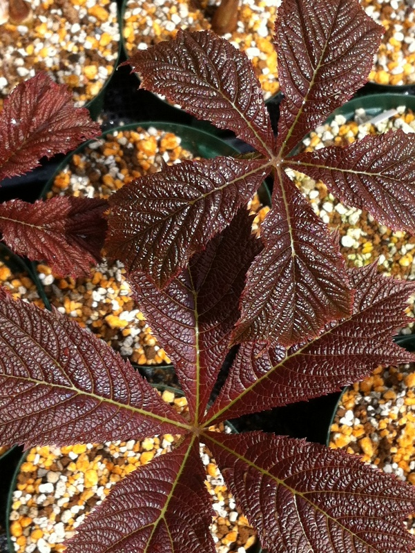 美しすぎる新芽たち ^^ 黄金葉ツタ、銅葉ヤグルマソウなど♪_f0191870_1453238.jpg