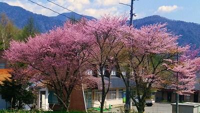 乗鞍高原の桜_f0182173_10155065.jpg