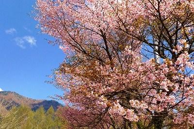 乗鞍高原の桜_f0182173_10155755.jpg