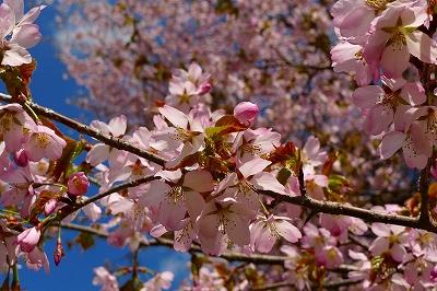 乗鞍高原の桜_f0182173_1016567.jpg