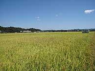 9月17日の田んぼ(緑が丘小・北郷小)_d0247484_15465173.jpg
