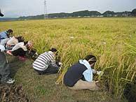稲刈り体験(緑が丘小・北郷小)_d0247484_161561.jpg