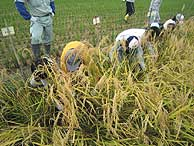 稲刈り体験(緑が丘小・北郷小)_d0247484_17523153.jpg