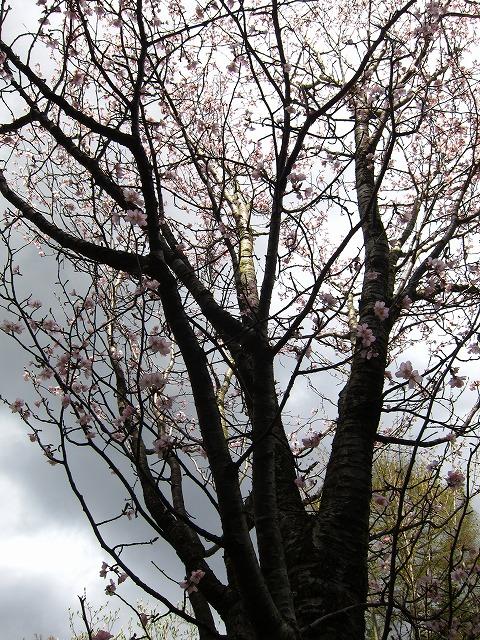 桜 満開♪_d0133485_15174093.jpg
