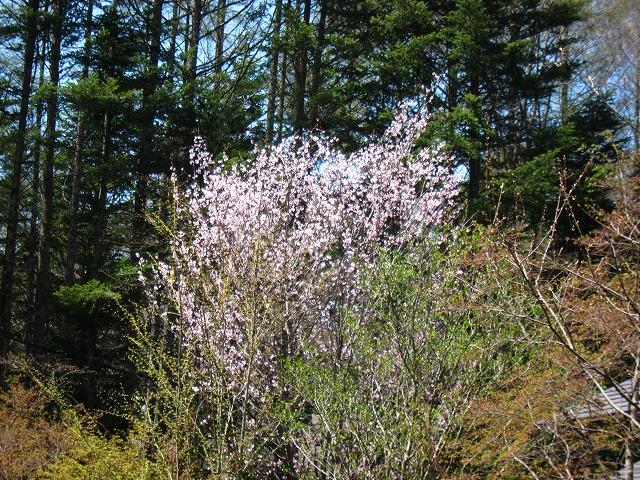 桜 満開♪_d0133485_1518508.jpg