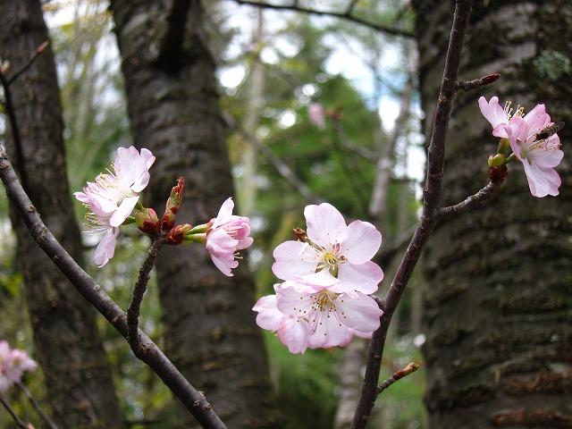桜 満開♪_d0133485_1519549.jpg