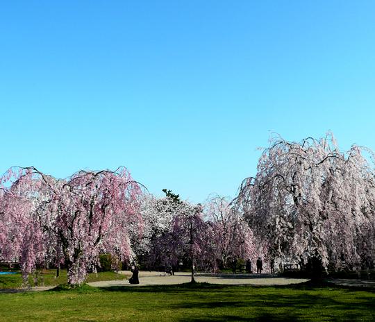 弘前城公園 の 「さくら」_f0150893_172585.jpg