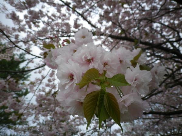 お花見_c0178231_1618790.jpg