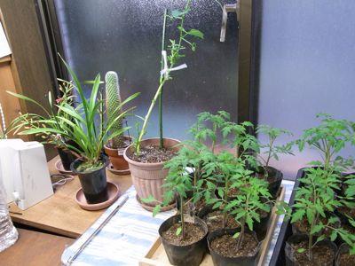 カテサイ(家庭菜園)の記録 H24.5.5_c0063348_7363571.jpg