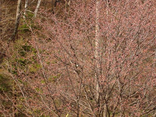 乗鞍高原 鈴蘭地区の桜 開花情報 今週末が見ごろ!_a0217365_22115851.jpg