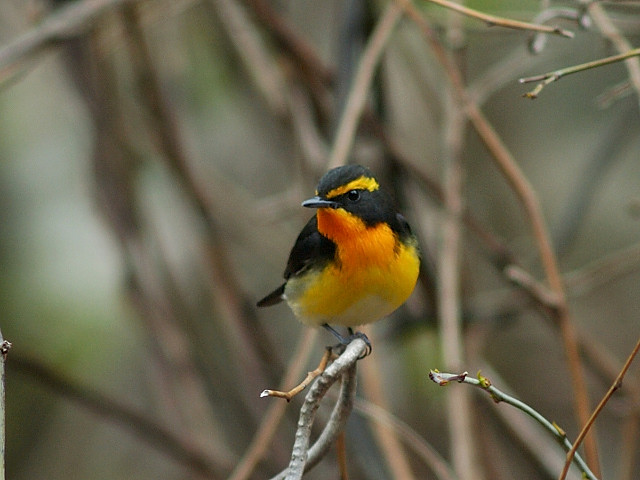 愛鳥週間(バードウィーク)、蔵織で2008年に野鳥写真展をやった兄の写真です。_d0178448_22403175.jpg
