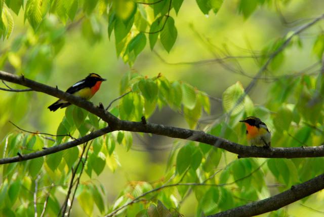 愛鳥週間(バードウィーク)、蔵織で2008年に野鳥写真展をやった兄の写真です。_d0178448_22404673.jpg